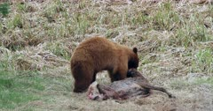A black bear kills and feeds on a mule deer