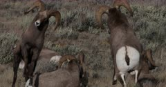 Big horn sheep banging heads during the winter rut
