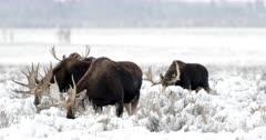 4 large bull moose graze in the fresh snow