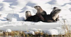4 river otters playing in the fresh snow by a pond