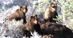 3 grizzly bears on a moose carcass
