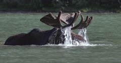 slow motion close up of bull moose feeding in a lake