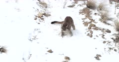 WILD mountain lion running down a snowy hillside