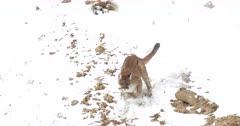 WILD mountain lion running down a snowy hillside