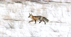 Red Fox running through the fresh snow