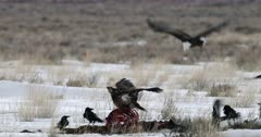 Golden Eagle & Bald Eagle reluctantly share an elk carcass in the snow