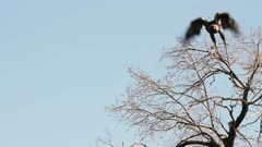 Golden Eagle perched and flying from tree branch watching for ground squirrels