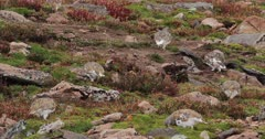 Rock Ptarmigan on August tundra