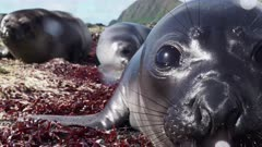 Curious baby elephant seals approach camera in Subantarctic