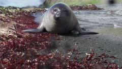 Curious baby elephant seal approaches camera in Subantarctic
