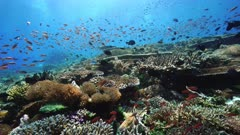 Amazing coral reef life of Indonesia