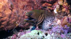 Symbiosis between moray and cleaner shrimp amazing colors