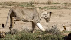 Cobra attacks Lioness in slow motion