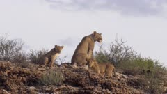 Lioness on top of the hill starring with her cubs following