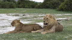 Lion and lioness standing up to mate in front of the camera