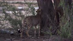 Close-up of cheetah marking a tree at dusk