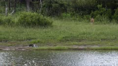 Impala chasing crocodile from the river bed