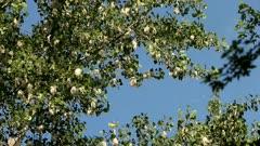 Eastern Cottonwood, Populus deltoides, cotton seeds released