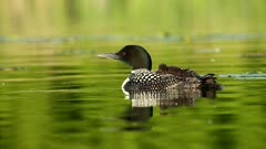 Common Loon Gavia immer with baby on back