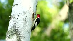 Red-headed Woodpecker Melanerpes erythrocephalus