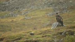 Golden Eagle Aquila chrysaetos perched in foggy snow