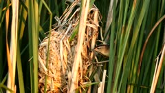 Marsh Wren, (Cistothorus palustris) feeding young at nest