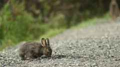 Snowshoe Hare, Lepus americanus, feeding in gravel