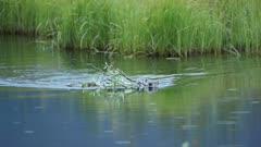 Beaver Caster canadensis, swimming building dam