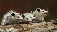 Virginia Opossum, Didelphis virginiana, young on branch