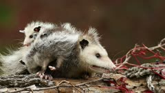 Virginia Opossum, Didelphis virginiana, adult and young on log