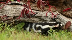 Eastern Spotted Skunk, Spilogale putorius, handstand adult in log in fall, autumn