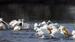 American White Pelica, Pelecanus erythrorhynchos, flock feeding in lake