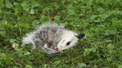 Virginia Opossum, Didelphis virginiana, playing dead, playing possum, playing dead and waking up