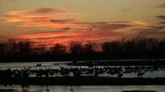 Sandhill Crane, Grus canadensis, sunset on Platte River in Nebraska