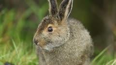 Snowshoe Hare (Lepus americanus) summer brown coat eating