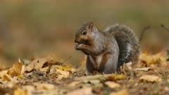 Eastern Gray Squirrel eating acorn in fall leaves