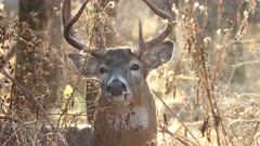 White-tailed Deer buck, male in woods sitting and snorting, chewing cud