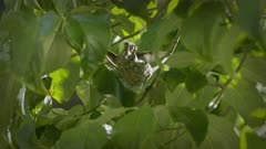 Hummingbird feeding chicks slow motion