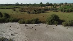 Aerial view (drone) of a spectacular baboon race in the mangrove