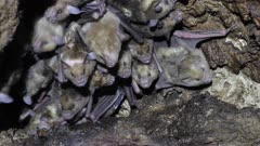 Bat cave housing a colony of Antillean fruit-eating bats on the Caribbean island Antigua