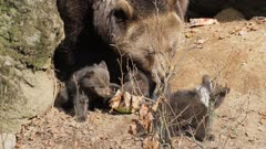 Brown bear ursus arctos with new borns in front of a cave in Bavaria Germany Europe