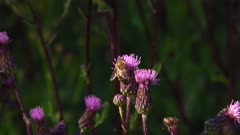 Two Western Honey Bee (apis mellifera) Collecting Nectar From The Same Flower
