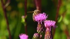 Single Western Honey Bee (apis mellifera) Collecting Nectar Close Up