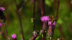 Single Western Honey Bee (Apis Mellifera) Collecting Nectar On A Creeping Thistle Wider Angle