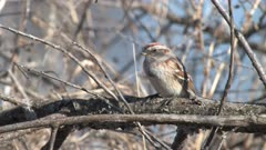 American Tree Sparrow Sitting On Branch. Looking Around