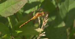 Dragonfly, Meadowhawk, Moving Head, Watching Prey Pass By