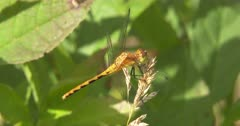 Dragonfly, Meadowhawk, Watching Prey Pass By, Looks At Camera