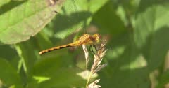 Dragonfly, Meadowhawk, Crouches Down to Chase Prey