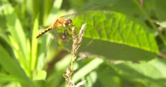 White-feced Meadowhawk Dragonfly, Female Grooming, Breeze Comes up, Dragonfly Clutches Perch