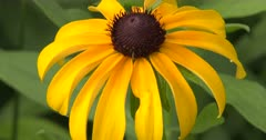 Brown-Eyed Susan, Wildflower, ZO to WA